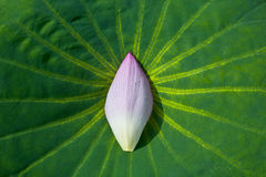 Petal and Leaf of lotus Royalty Free Stock Photos