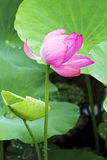 Petal lotus leaf Stock Photo