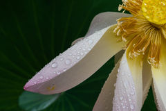 The petal of lotus with raindrops. And teh lotus leaves as background Stock Photo
