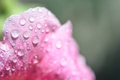 Petal of a mallow flower closeup in drops of dew, macro nature.  Royalty Free Stock Photos