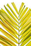 Petal palm Leaf Stock Images