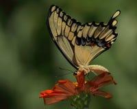 Petal Peeper Royalty Free Stock Image