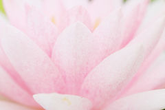 Petal pink lotus flower. Royalty Free Stock Image