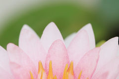 Petal pink lotus flower. Royalty Free Stock Photos