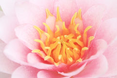 Petal pink lotus flower. Stock Photos