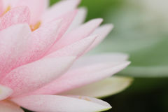 Petal pink lotus flower. Royalty Free Stock Photography