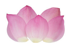 Petal of the pink lotus. Isolated on white background stock image