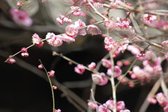Petal of pink plum flower blossoming within sunny day Stock Image