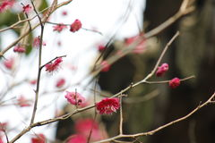 Petal of pink plum flower blossoming within sunny day Stock Photography