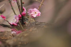 Petal of pink plum flower blossoming within sunny day Stock Photo