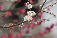 Petal of pink plum flower blossoming within sunny day Stock Images