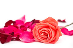 Petal and pink rose flower Royalty Free Stock Images