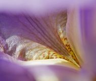 Petal purple Iris. Iris petals are incredibly beautiful and tender. Their beauty is mesmerizing Stock Images