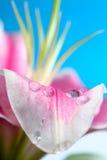 Petal raindrop Stock Photography