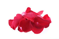 Petal red rose flower isolated Stock Images
