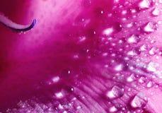petal rose obrazy stock