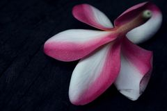 Petal and sepal of Frangipani, the Plumeria hybrid flower stock photography