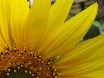 Petal sunflower Royalty Free Stock Images