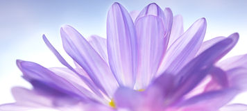 Petal Tranquility. Purple Pom-Pom Petals with White Background Stock Photography