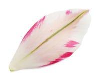 Petal of the tulip Stock Photos