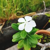 White Flower. 5 petal white flower Royalty Free Stock Image