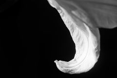 Petal. White petal of a flower Royalty Free Stock Images