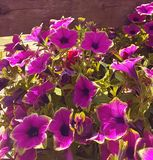 5 petaled purple trumpet shaped flowers. Large bunch of warm yellow and pink purple tube trumpet flowers against a fence royalty free stock photography