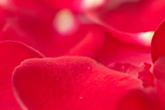 petalen steg Arkivfoto