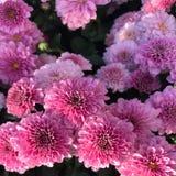 Petali abbastanza rosa fotografia stock