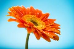 Petali arancio bagnati del fiore della margherita della gerbera Immagini Stock