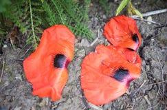 Petali arancio del papavero in un parco Fotografia Stock