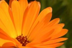 Petali arancioni del fiore Immagine Stock