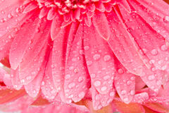 Petali bagnati del primo piano del gerbera Fotografia Stock