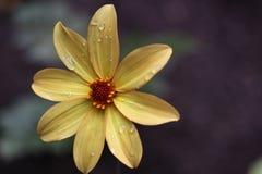 Petali bagnati gialli Fotografia Stock