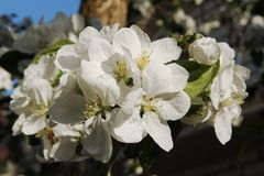 Petali bianchi della mela in un giorno di molla Fotografie Stock