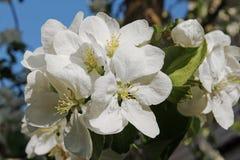 Petali bianchi della mela in un giorno di molla Immagine Stock Libera da Diritti