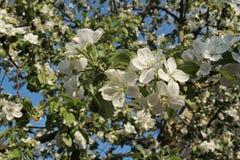Petali bianchi della mela in un giorno di molla Fotografia Stock