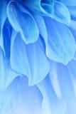 Petali blu Fotografie Stock