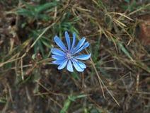 Petali blu di una pianta Primo piano della cicoria fotografia stock