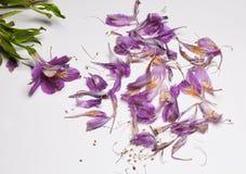 Petali caduti porpora di alstroemeria su fondo bianco Fotografia Stock