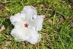 Petali del fiore bianco caduti su terra immagini stock libere da diritti
