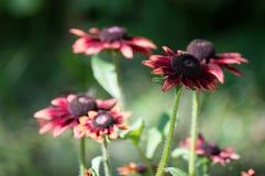 Petali del fiore della gerbera allontanati Fotografia Stock