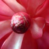 Petali del fiore di Alpinia Immagine Stock Libera da Diritti