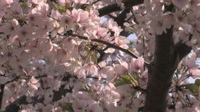 Petali del fiore di ciliegia nel vento archivi video