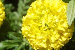 Petali del fiore di giallo di giallo di patula di tagetes rotondi come un cappello immagine stock libera da diritti