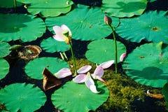 Petali del fiore di Lotus Fotografia Stock