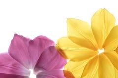 Petali del fiore su una priorità bassa bianca Fotografie Stock Libere da Diritti