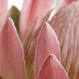 Petali del protea del puntaspilli quadrati Fotografia Stock