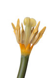 Petali del tulipano senza Fotografie Stock Libere da Diritti