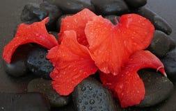 Petali dell'ibisco sulle pietre Fotografie Stock